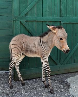 Zonkey 斑马驴