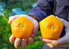 创意水果:五边形橘子
