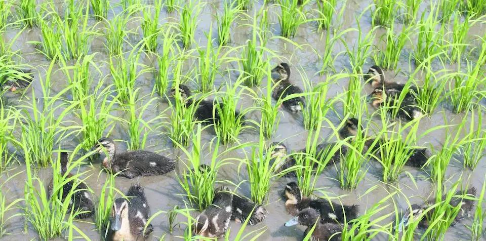 """稻田上用了这个""""小白""""以后就不用施肥和农药"""